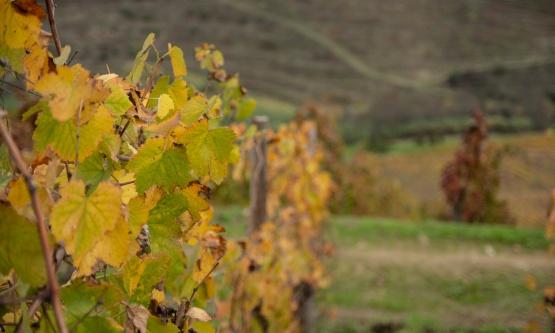 L5 - Genetic diversity of the vine
