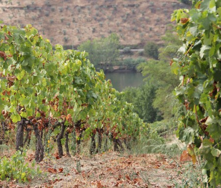 Conservation and Selection of Old Vine Varieties