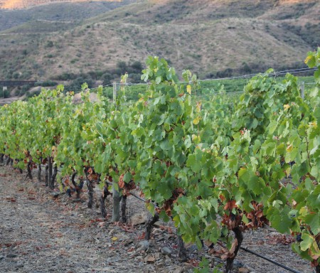 New grape varieties for new wines
