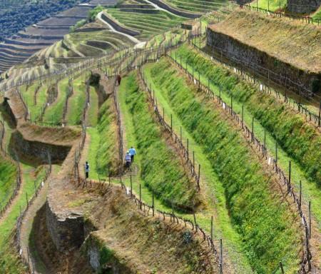 GreenVitis: Efeitos da gestão do solo na produtividade e sustentabilidade do sistema vitivinícola duriense
