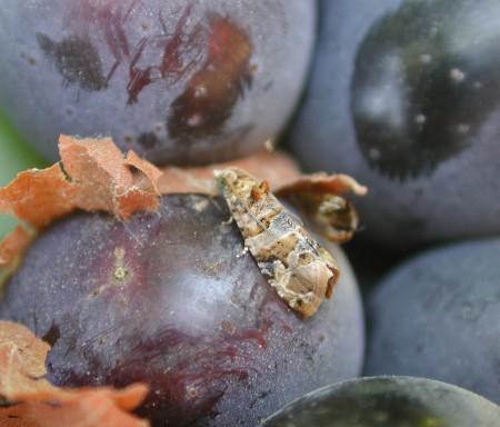 Traça-da-uva